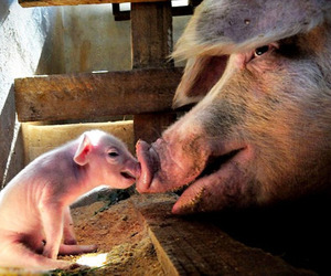 pig and mother and baby image