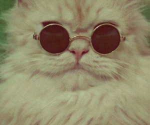 cat, photography, and sunglasses image