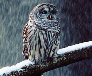 owl, snow, and animal image