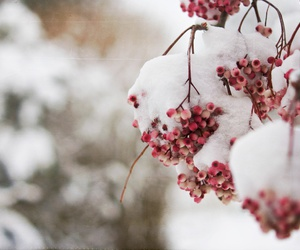 snow and berry image