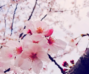 cherryblossom, spring, and 桜 image