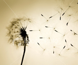 wish, dandelion, and flowers image