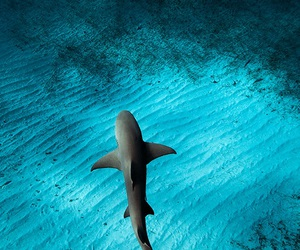 animal, shark, and ocean image