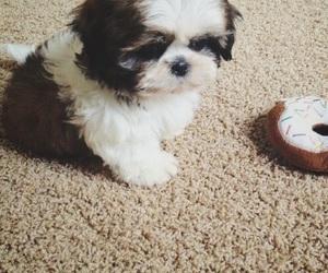 dog, shih tzu, and cute image