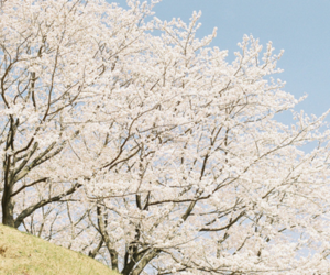 nature, cherry blossom, and japanese image