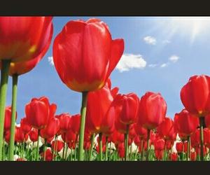 naturaleza, tulipanes, and rojos image