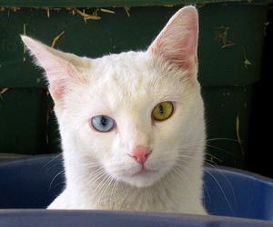 cat, eyes, and white cat image