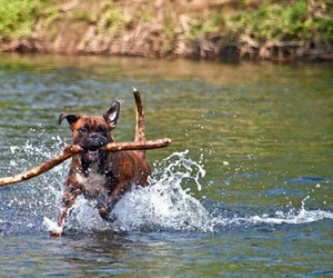 boxer, dog, and river image