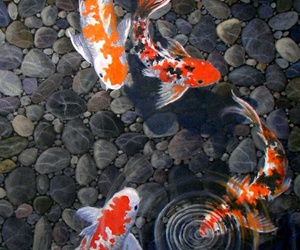 fish and koi image