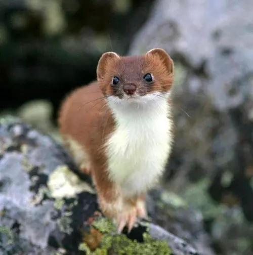 animal and weasel image