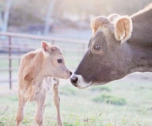 animals, calf, and cow image