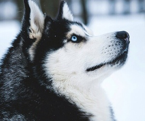 animal, dog, and husky image