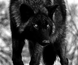 wolf, and, and animal image