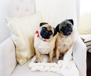dogs, pug, and pug puppy image
