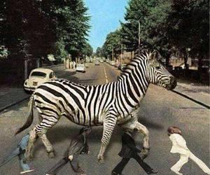 zebra, funny, and lol image