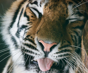 funny and tiger image