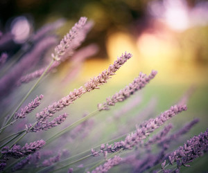 field, lavender, and summer image