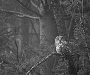 owl, black and white, and nature image