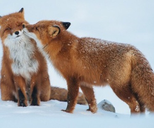 fox, animal, and love image