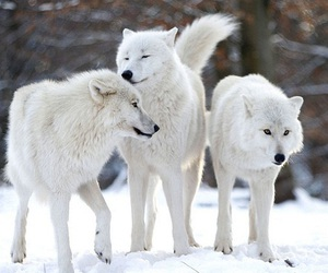 white and wolf image