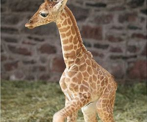 giraffe, baby, and animal image