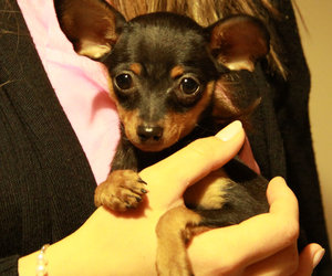 russian toy terrier dog image
