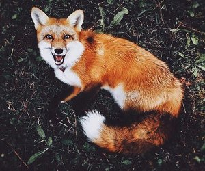 forest, smile, and fox image