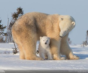 national geographic and Polar Bear image