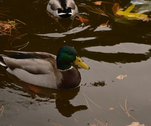 duck, lake, and leaves image