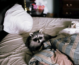 raccoon, bed, and cute image