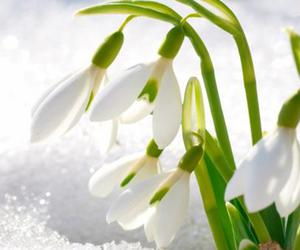 flowers, snow, and spring image