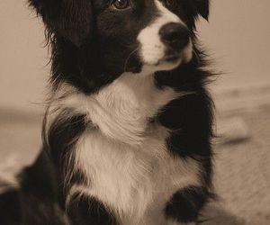 dog, animal, and border collie image