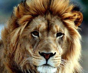 lion, valzart, and animal image