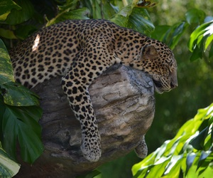 leopard, animal, and cat image
