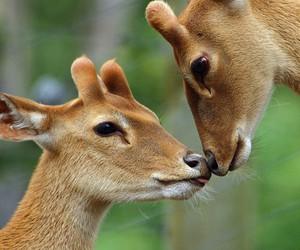 deer, kiss, and love image