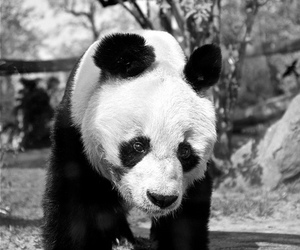 animal, black and white, and panda image