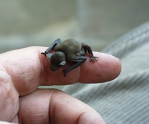 bats and smallest mammal image