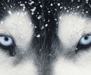 eyes, wolf, and blue image