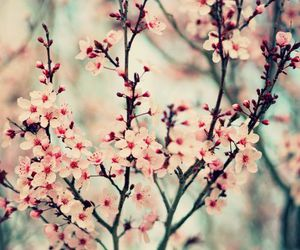 cherry blossoms, nature photography, and floral image