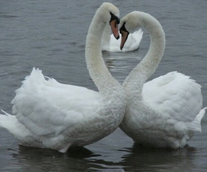 Swan, pale, and theme image