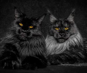 cat and black cat image