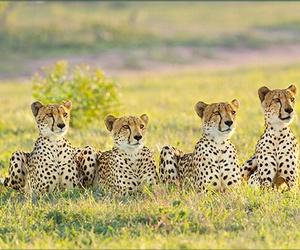 africa, cheetah, and safari image