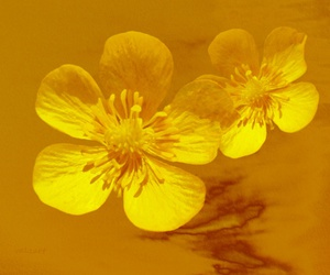 buttercups, flowers, and nature image