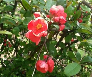 red, spring, and camellia flower image