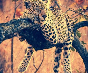 animals, jaguar, and relax image