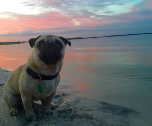 dogs, pugs, and puppies image