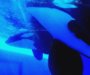 black and white, blue, and orcas image
