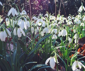 flowers, spring, and snowdrops image
