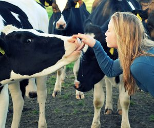 blond, cow, and friesland image