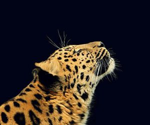 animal, butterfly, and leopard image